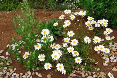 Daisies! Daisies!... all for the love of you.